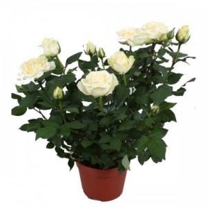 Купить большую розу в горшке в Комсомольске-на-Амуре
