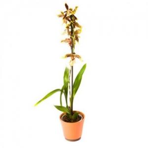 Купить орхидею Камбрия в Комсомольске-на-Амуре