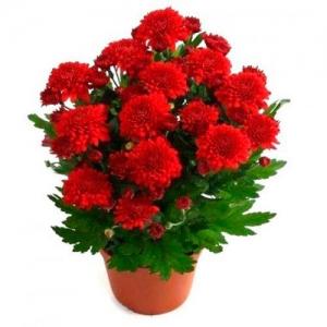 Купить хризантема кустовая в Комсомольске-на-Амуре