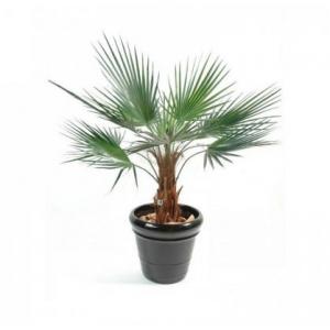 Купить пальму Вашингтония в горшке в Комсомольске-на-Амуре