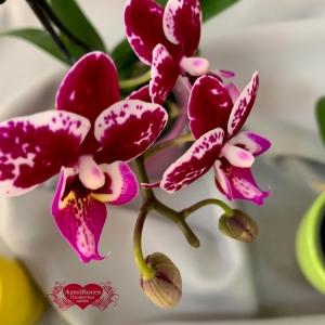Купить мини орхидею в горшке в Комсомольске-на-Амуре
