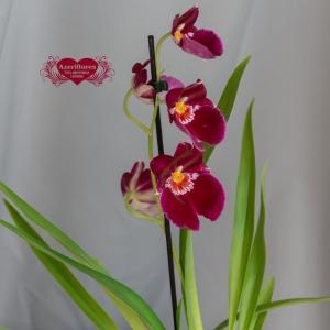 Купить орхидею Мильтония в горшке в Комсомольске-на-Амуре