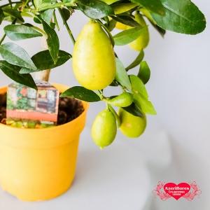 Купить лимон в горшке в Комсомольске-на-Амуре