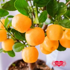 Купить мандарин в горшке в Комсомольске-на-Амуре