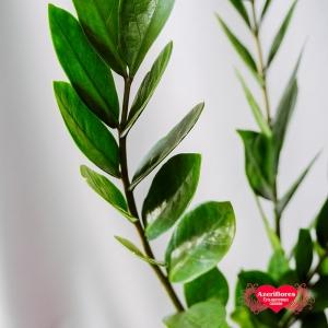 Купить Замиокулькас (Долларовое дерево) в горшке в Комсомольске-на-Амуре