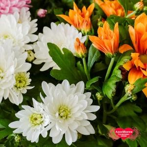 Купить кустовую хризантему в горшке в Комсомольске-на-Амуре