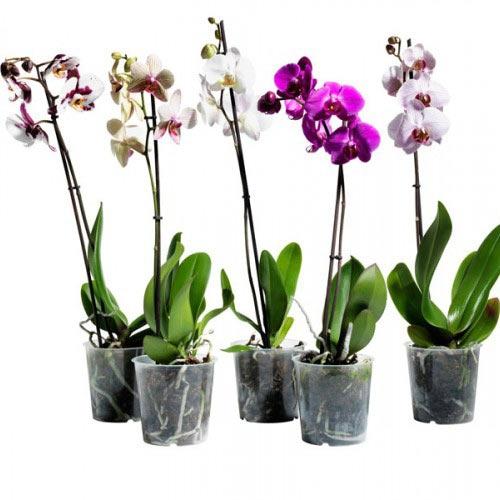 Купить орхидея фаленопсис в Комсомольске-на-Амуре