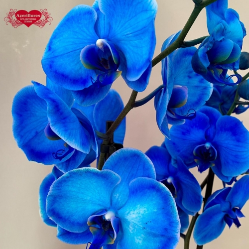 Купить крашеную орхидею Фаленопсис в Комсомольске-на-Амуре
